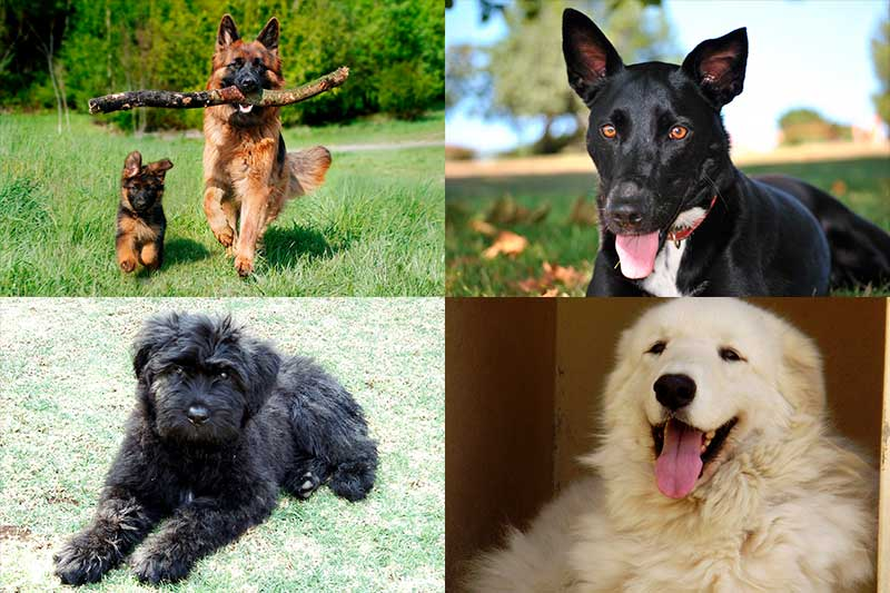 Las 353 Razas De Perros Más Lindos Del Mundo Fotos 2020